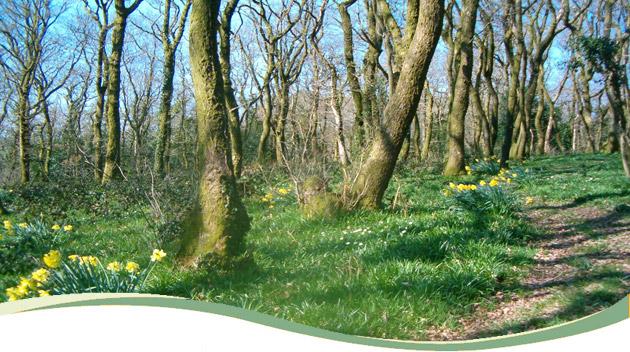 01_daffodil_forest